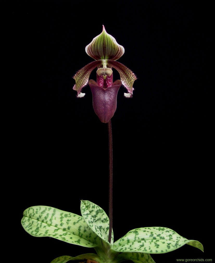 paph superbiens var curtisii jewels pinterest orchid e et fleurs. Black Bedroom Furniture Sets. Home Design Ideas