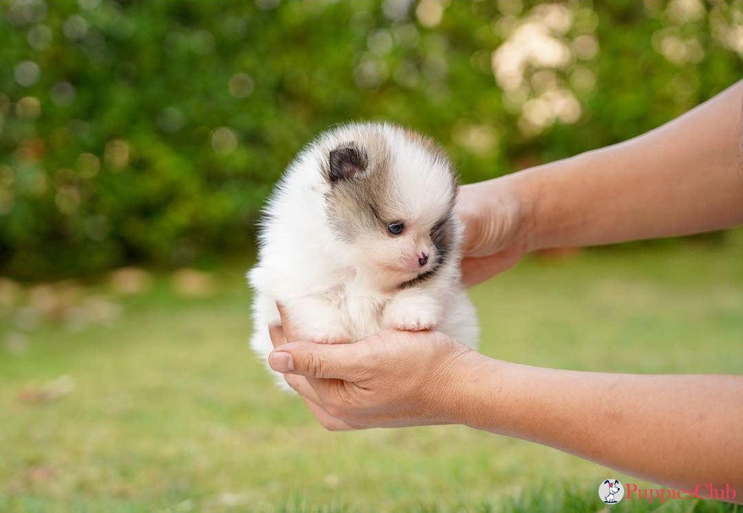 Teacup Pomeranian What S Good And Bad About Em Pomeranian Puppy Teacup Pomeranian Puppy Teacup Pomeranian