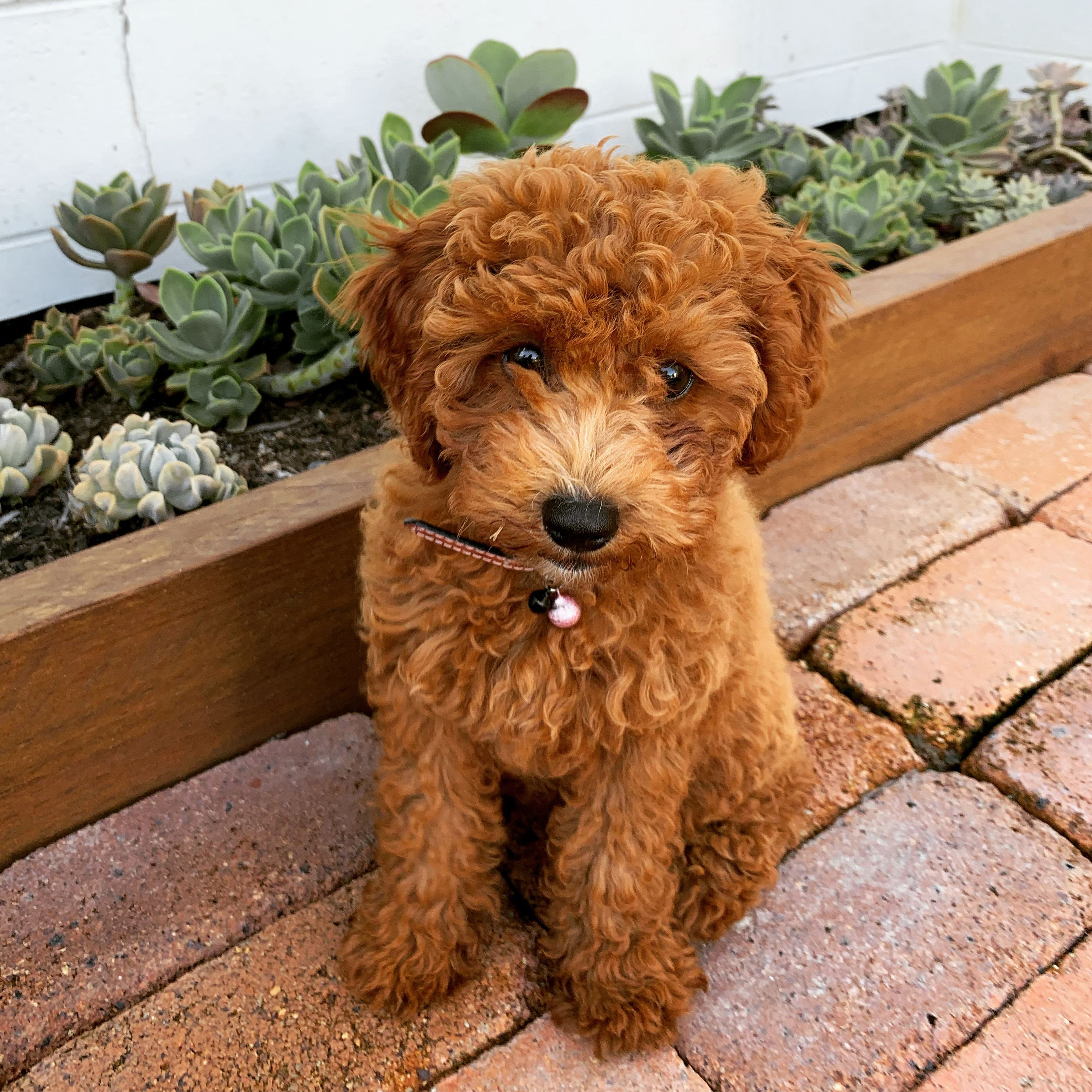 Red poodle puppies near me