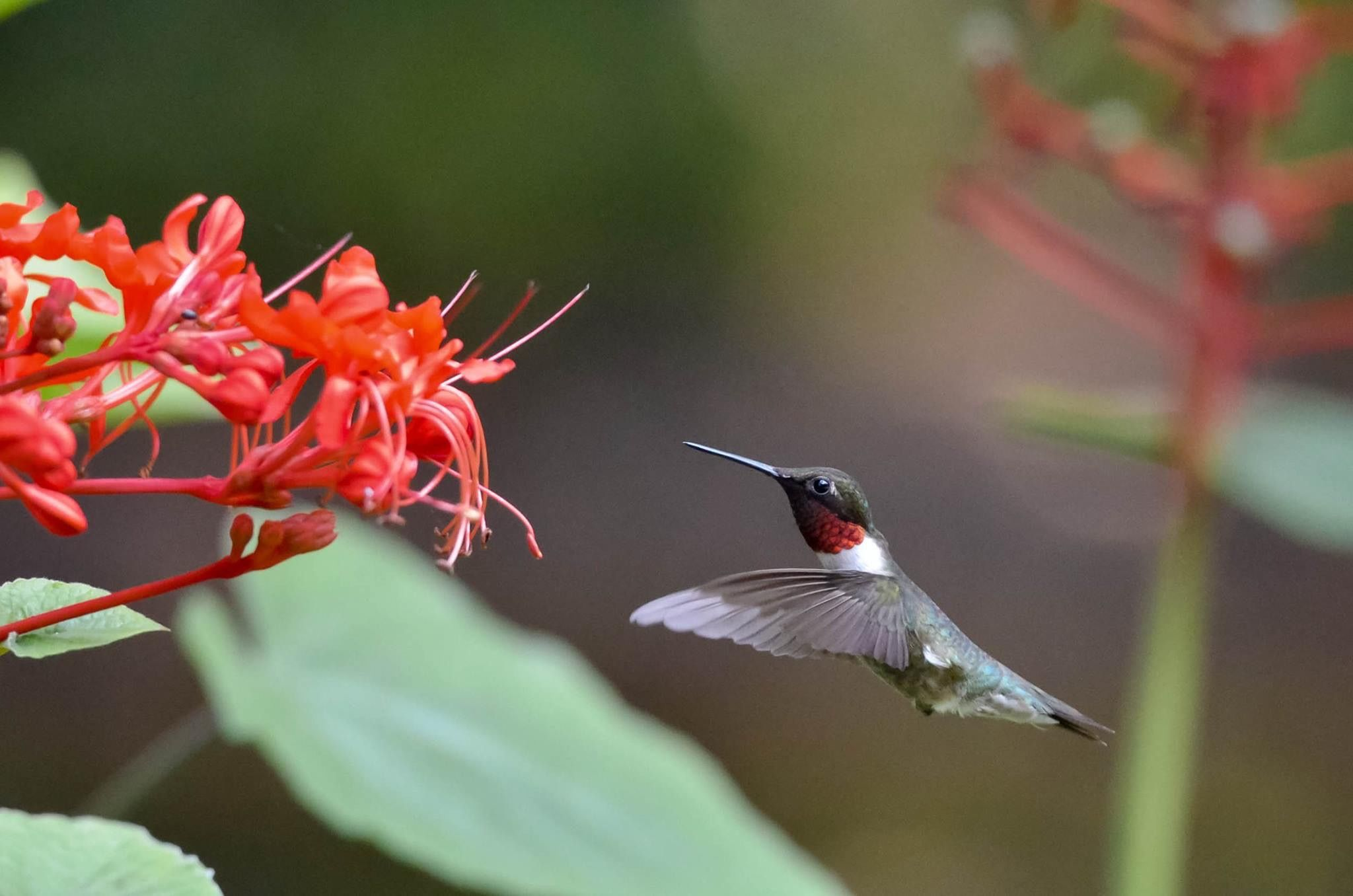 Rubythroated hummingbird (With images) Feed