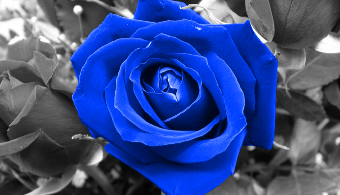 Blue Rose Wallpaper The Free Wallpapers Hd Wallpapers For Free Download Blue Roses Wallpaper Blue Flower Wallpaper Blue Roses