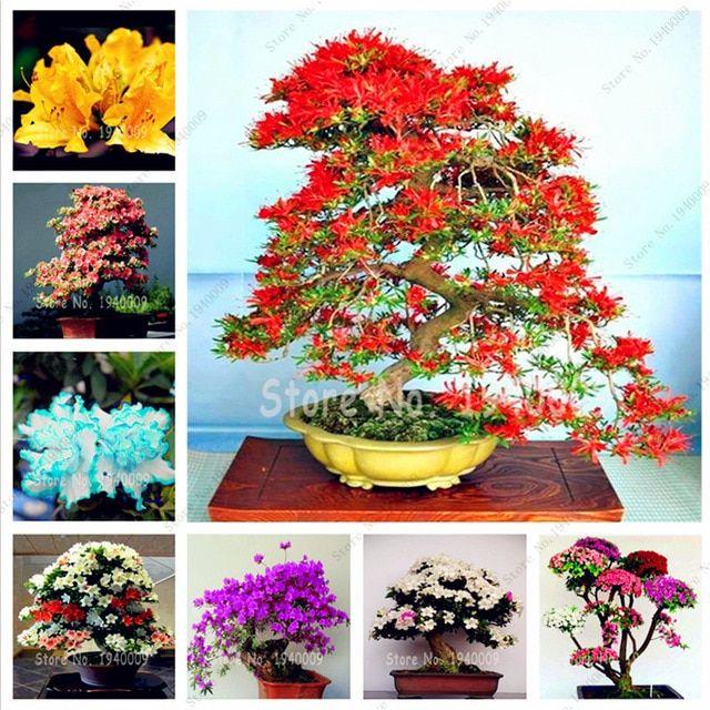 Hot Sale! 100 pcs Japanese azalea Bonsai,rhododendron