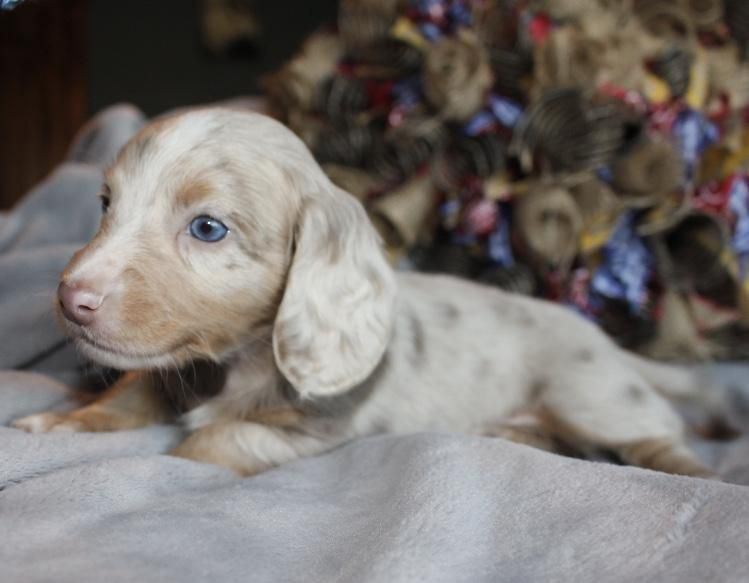 Isabella And Tan Dapple Miniature Dachshund Puppies Texas Dachshund Puppies Dachshund Puppy Miniature Clever Dog