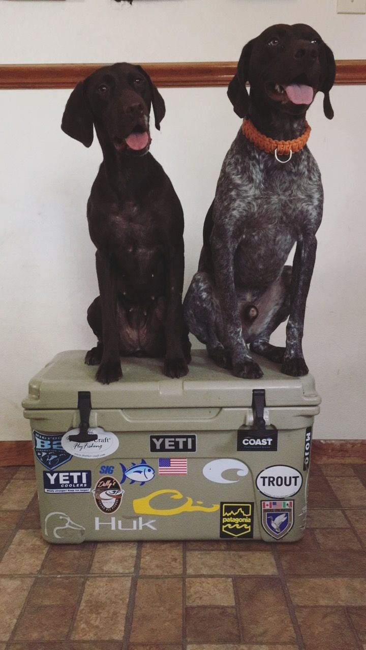 Yeti Pups German Shorthaired Pointers Gsp Upland Birddogs Dog