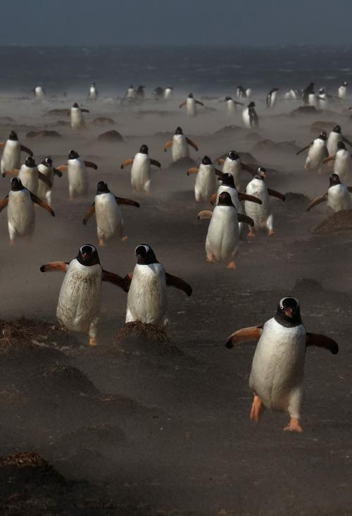 Pingüinos Papúa en la Isla de los Lobos en las Malvinas / Michael Lohmann