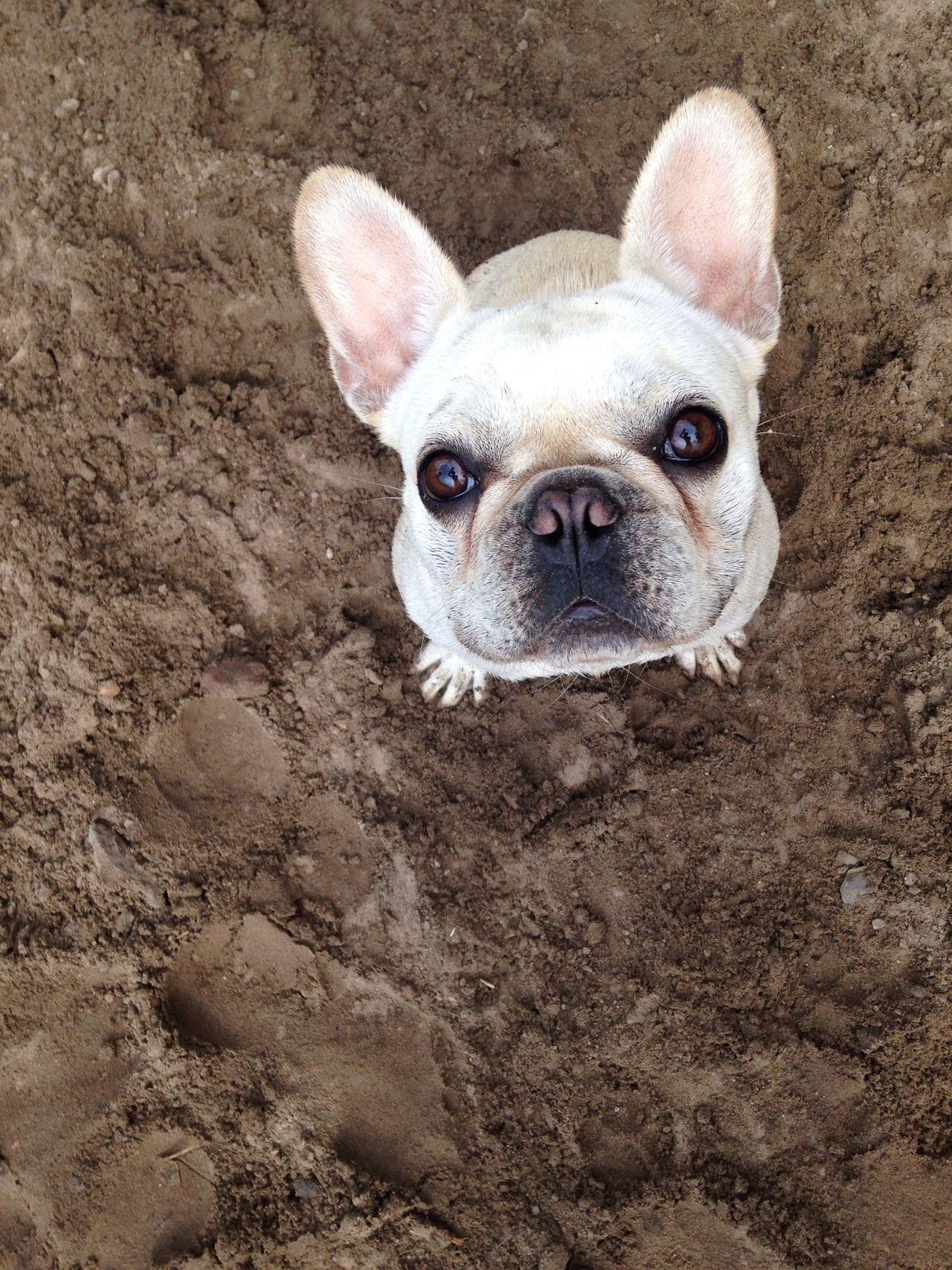 1 Tumblr Tierbabys Ausgestopftes Tier Franzosische Bulldogge