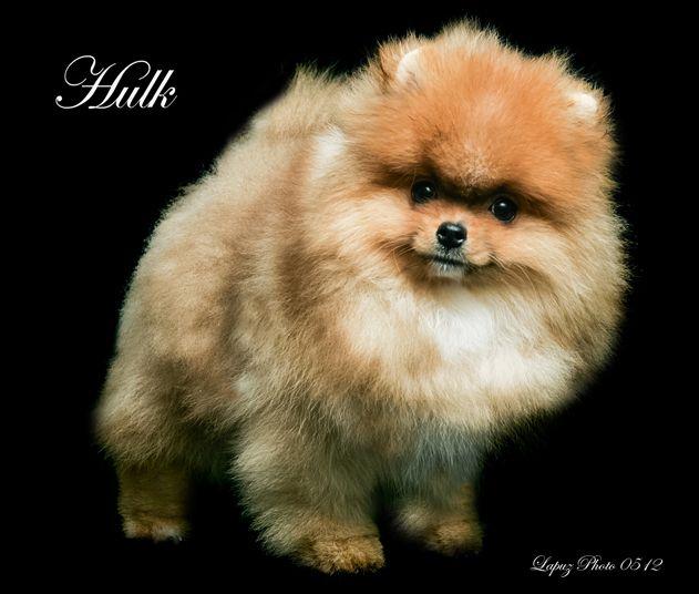 Summary -> Pomeranian Breeders In California - stargate-rasa