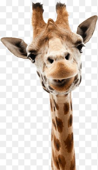 Giraffe Pictures Png Giraffe Png Images Free Download 730 1095 Png Download Free Transparent Background Giraffe P Giraffe Images Giraffe Pictures Giraffe
