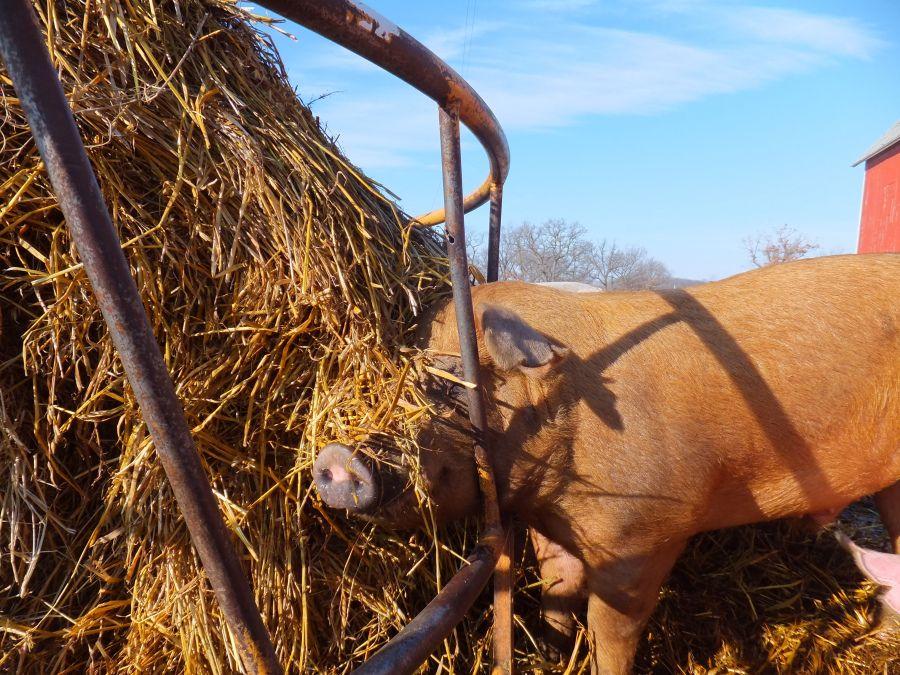 Bewilder boar eating oat bale in 2020 orchard grass