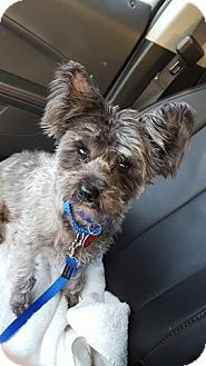 Troy Mi Cairn Terrier Shih Tzu Mix Meet Mugsy A Dog For