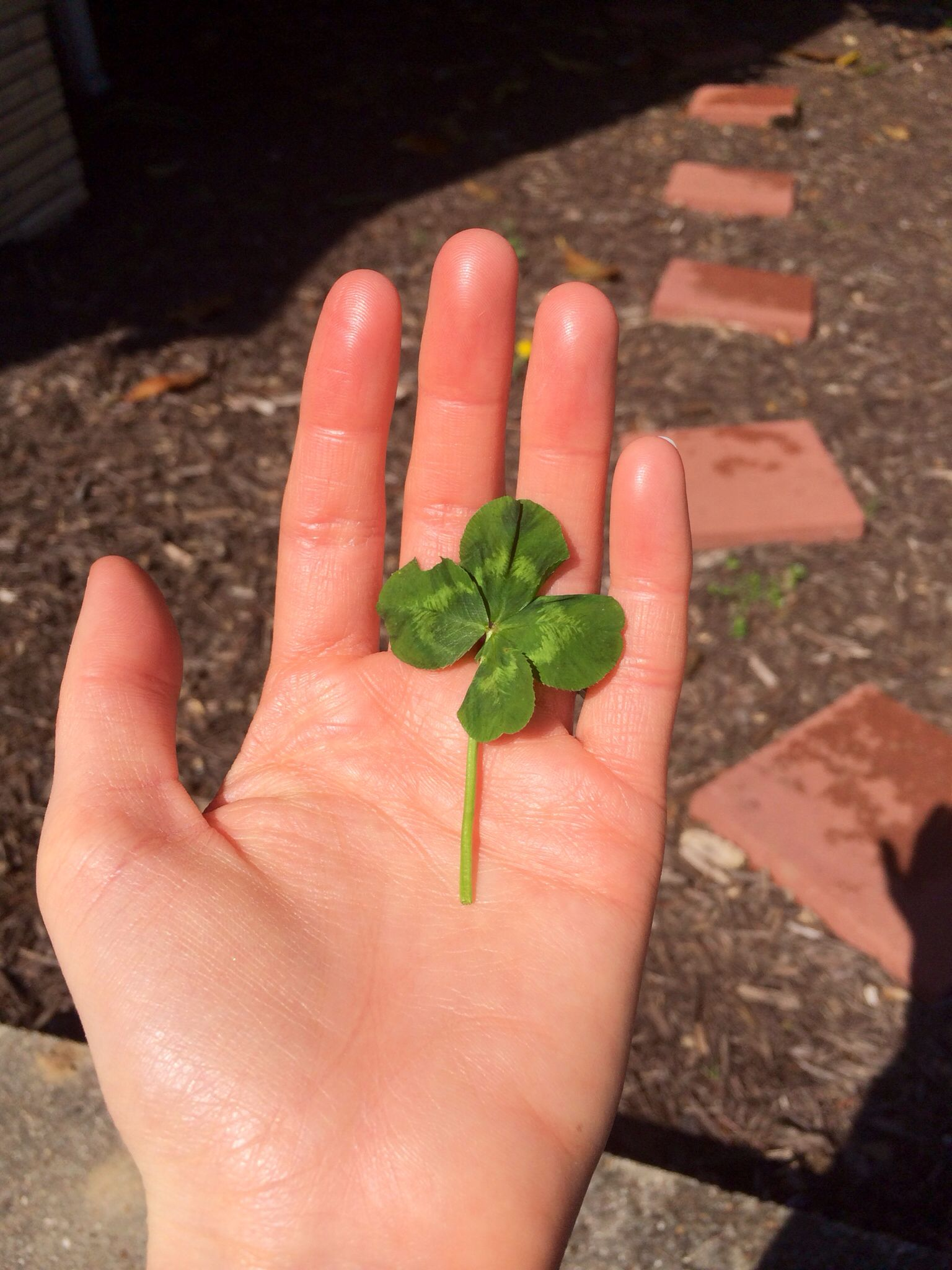 My daughter has found hundreds of four leaf clovers!