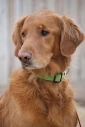 Adopt Rusty 5 Yrs Adopted On Golden Retriever Rescue Dogs
