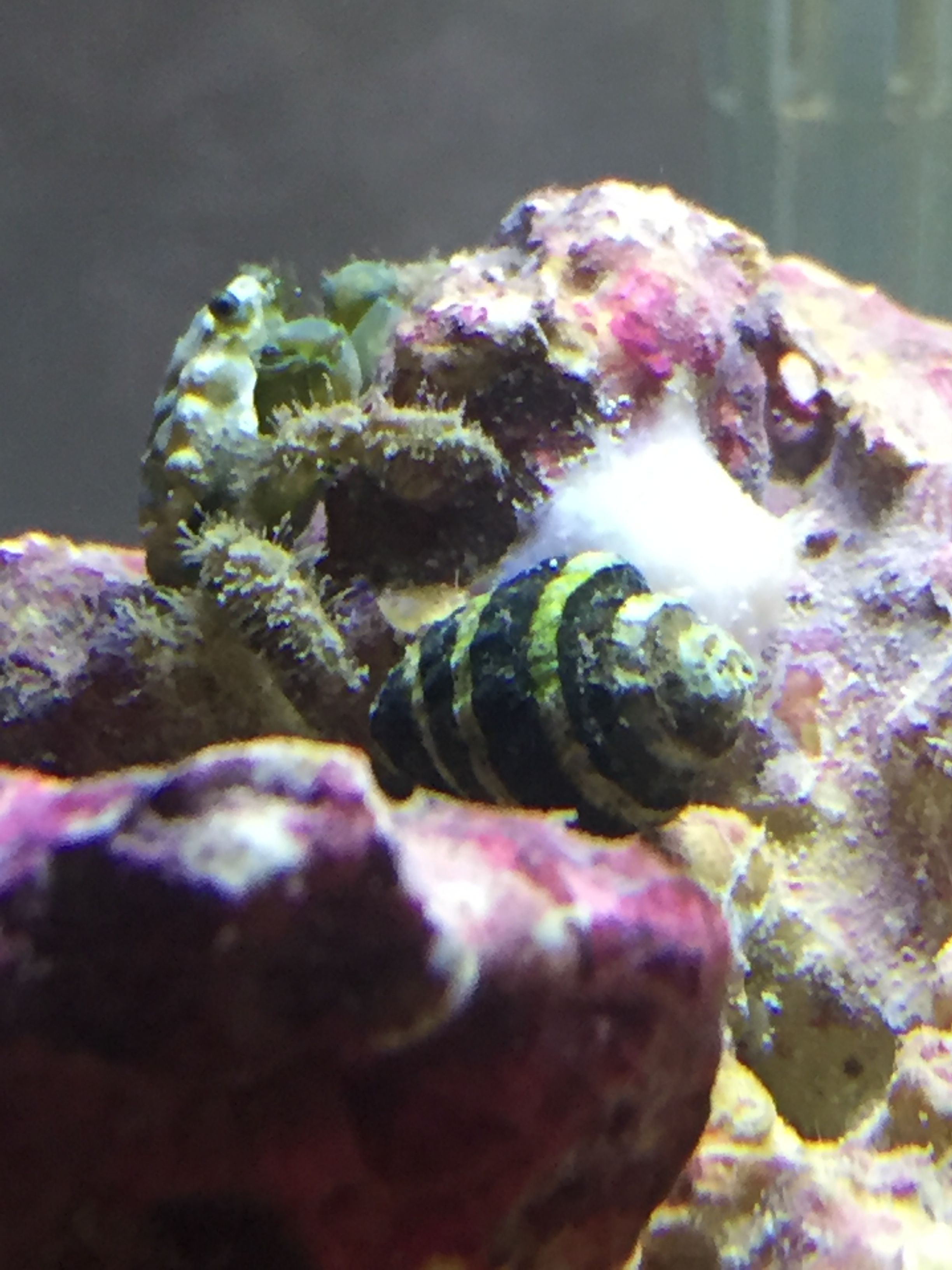 Emerald Crab Bumble Bee Snail And White Pineapple Sponge White Pineapple Crab Bumble Bee