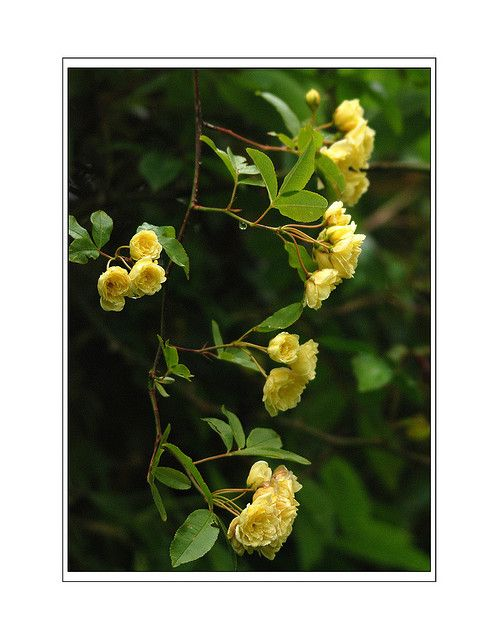 11 Shade Tolerant Roses: Lutea