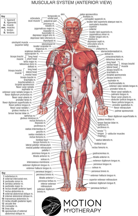 Where is the strongest muscle in the human body