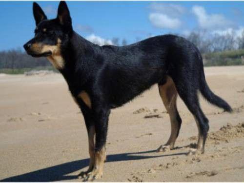 Australian Kelpie Australian Dog Breeds Dog Breeds Dog Breeds