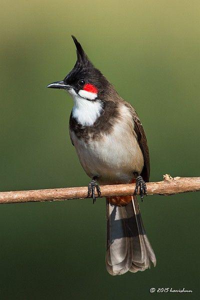 ป กพ นโดย Nicky Marrero ใน Birds นกส สวย ย คก อนประว ต ศาสตร ส ตว สวยงาม
