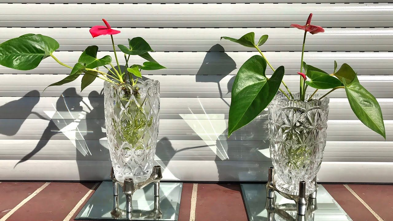 Anthurium Plant Care How To Grow An Anthurium In 2020 Anthurium Anthurium Plant Plant Care