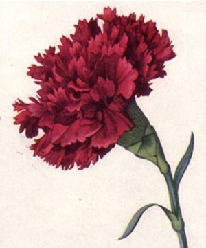 Scarlet Carnation State Flower Flower Illustration Flower Art Carnation Flower Tattoo