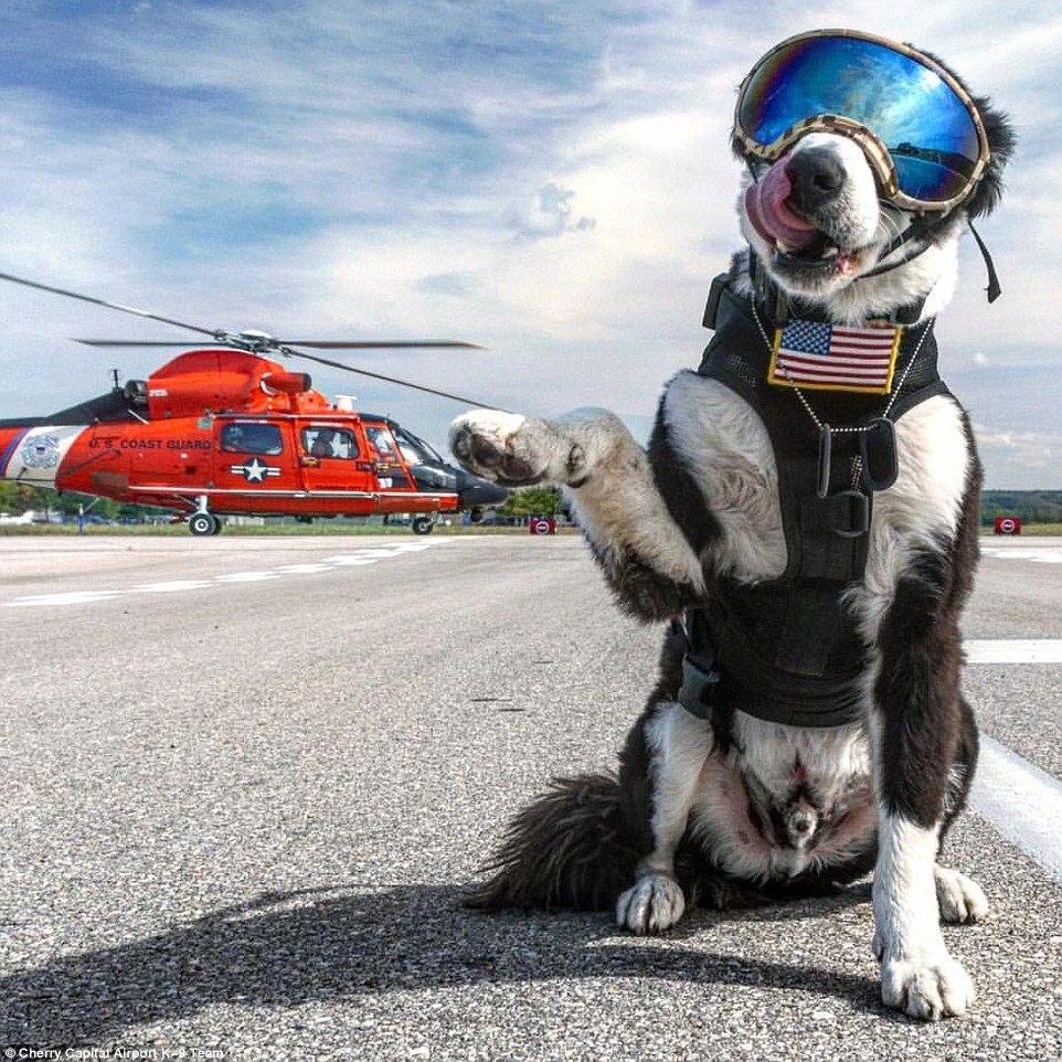 Michigan S Cherry Capital Airport K 9 Piper Airport Guard Dog Plays An Important Role In Keeping Peoples Life Safe In The Air Guard Dogs Dogs Dog Lovers