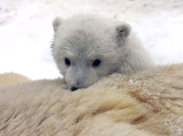 polar bear paws at camera - Google Search