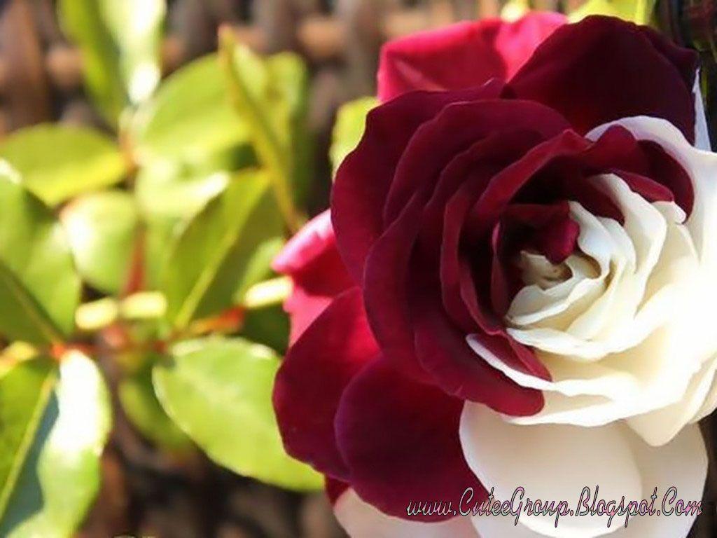 Half dark red half white cream rose passionate red for Cream rose wallpaper