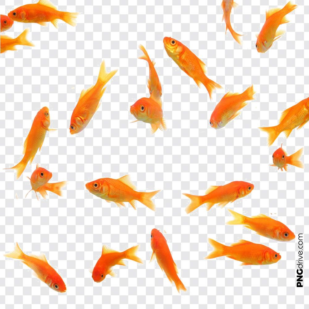 Pin By Png Drive On Gold Fish Png Overlays Transparent Golden Fish Png Photo