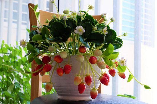Secrets Of Growing Strawberries Indoors Year Round Grow Fruit Indoors Growing Strawberries Indoors Growing Strawberries