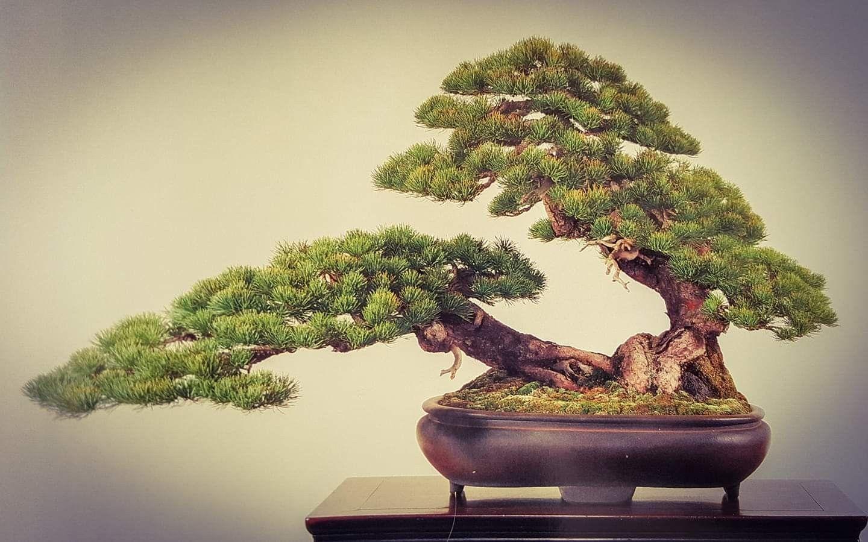 Pinus Parviflora Kokufu 1991 Martes Y Miércoles Abierto De 18 A 20h Paseo De La Castellana 100 Bajo Izda Bonsaikido Tu Tienda Y Escuela De Bons 분재