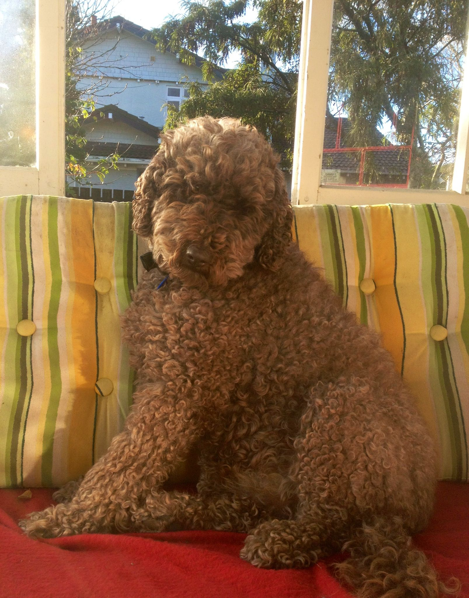 Dougal the labradoodle soaking up the spring sun