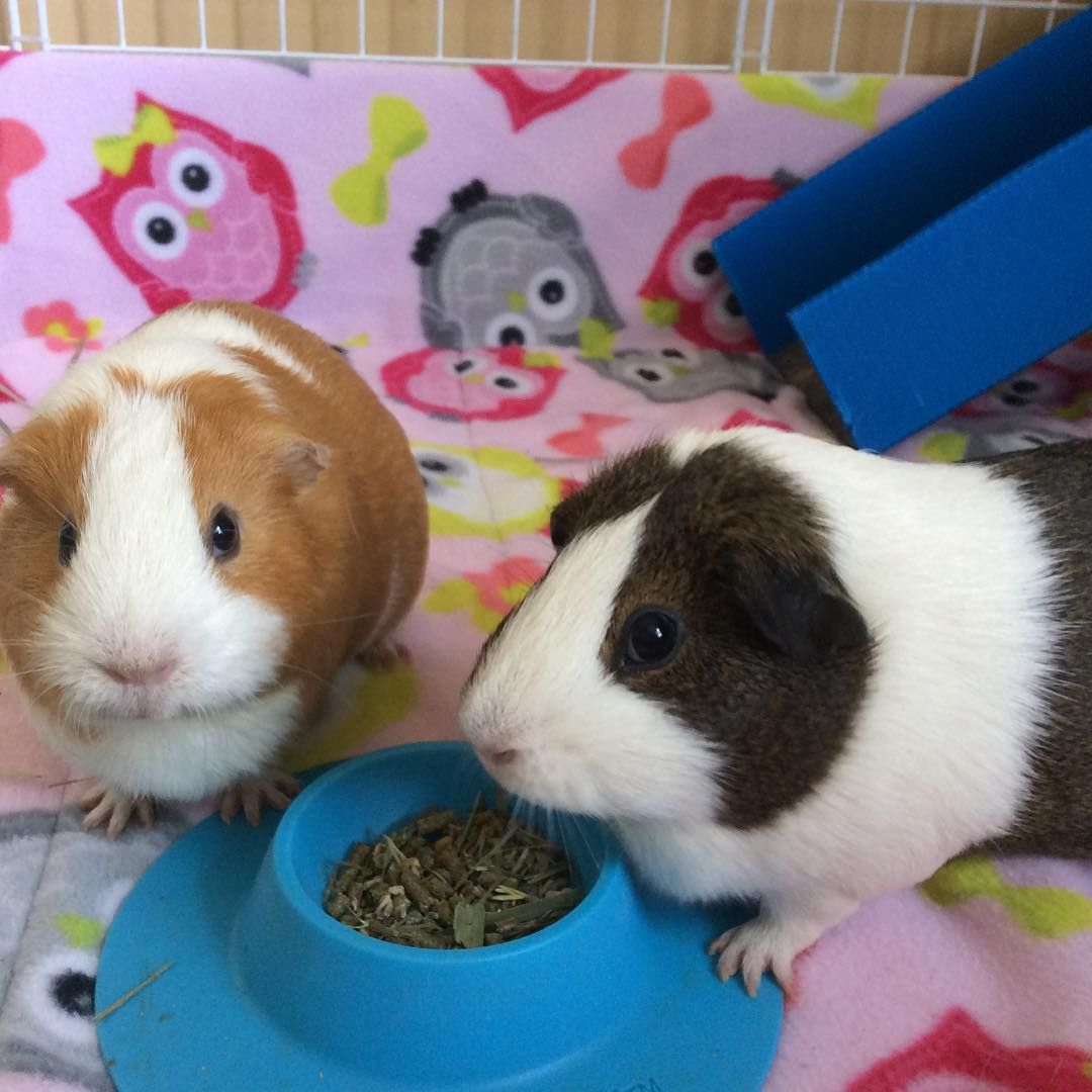Pin on guinea pig products