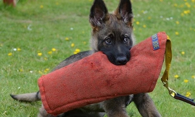 Heroic Pets Your Photos And Stories Working Dogs German