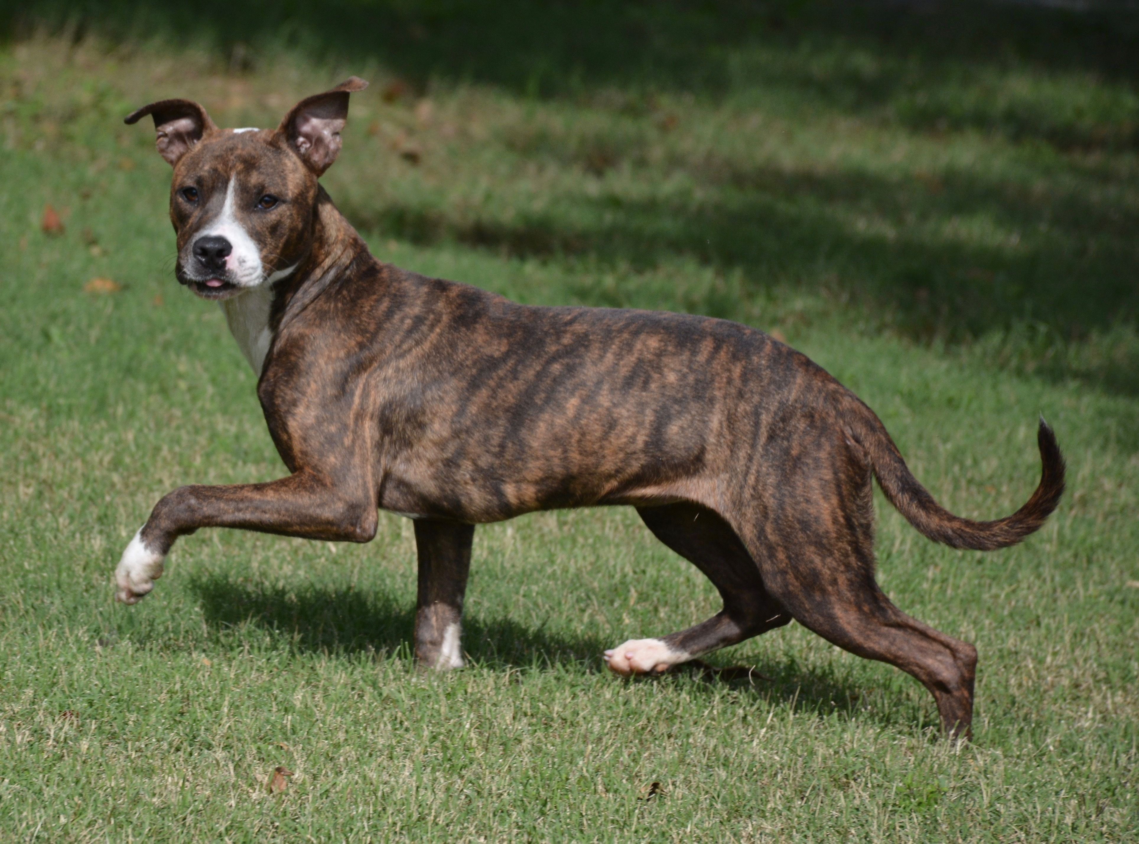 Adopt Harmony on | The Coolest | Dogs, Pitbull terrier, Animals