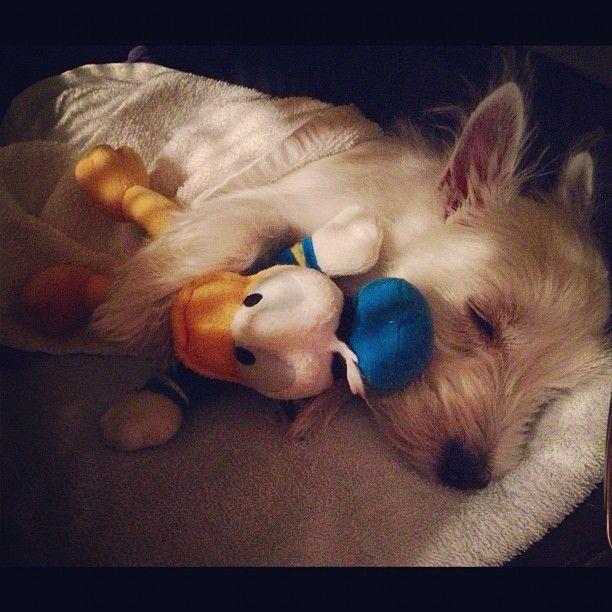 Westie Puppy Sleeping Puppy Cuddles Westie Puppies Sleeping Puppies
