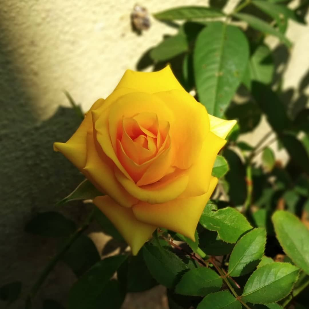 #myclicks📷 #naturebeauty😍 #yellow #💛 #redminote5pro #flowerlove #🌷