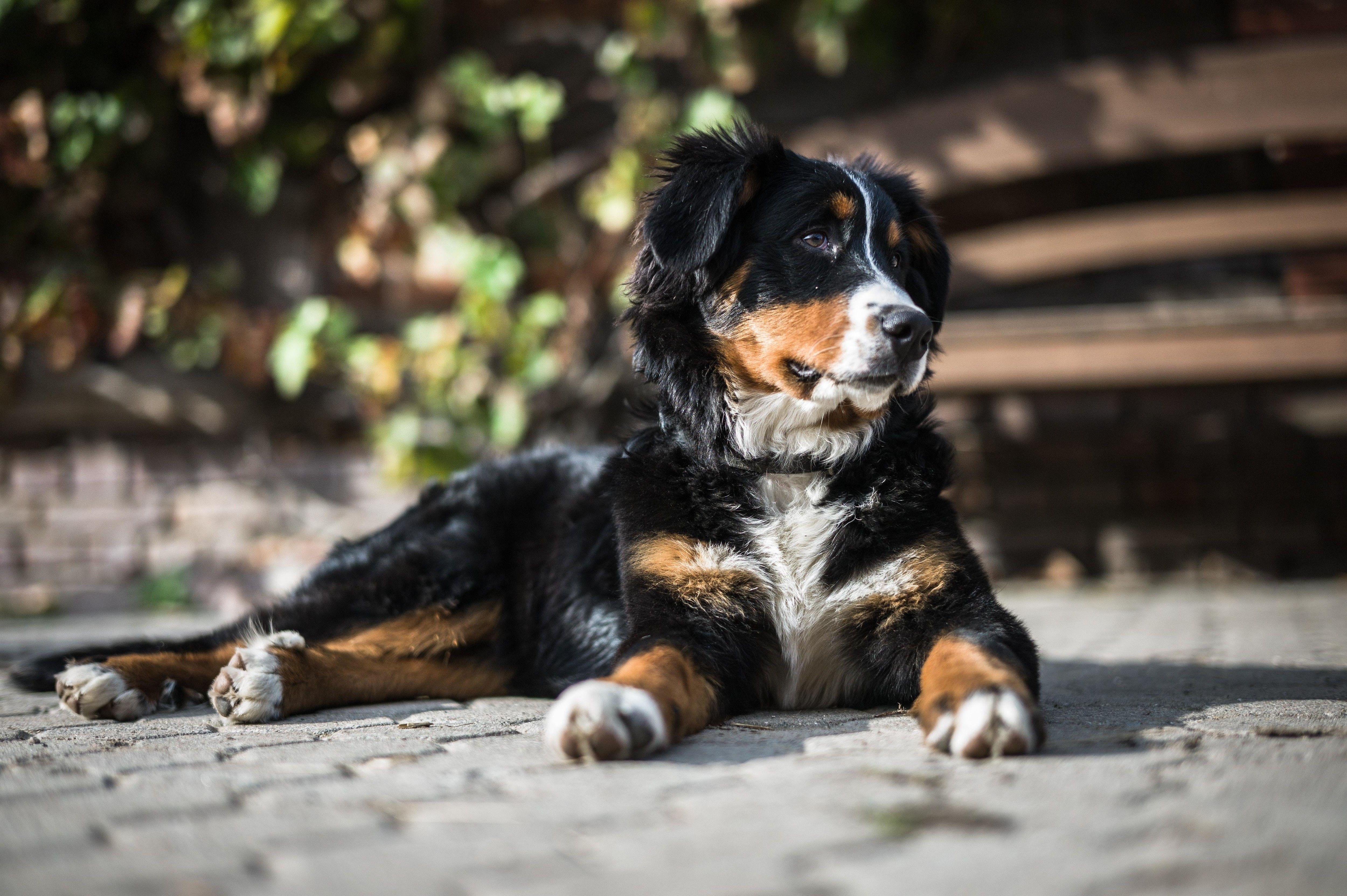 Bernese mountain dog training your dog dog training