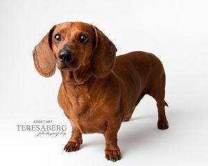Adopt Rover On Adoptable Dachshund Dog Dachshund Rescue Dogs