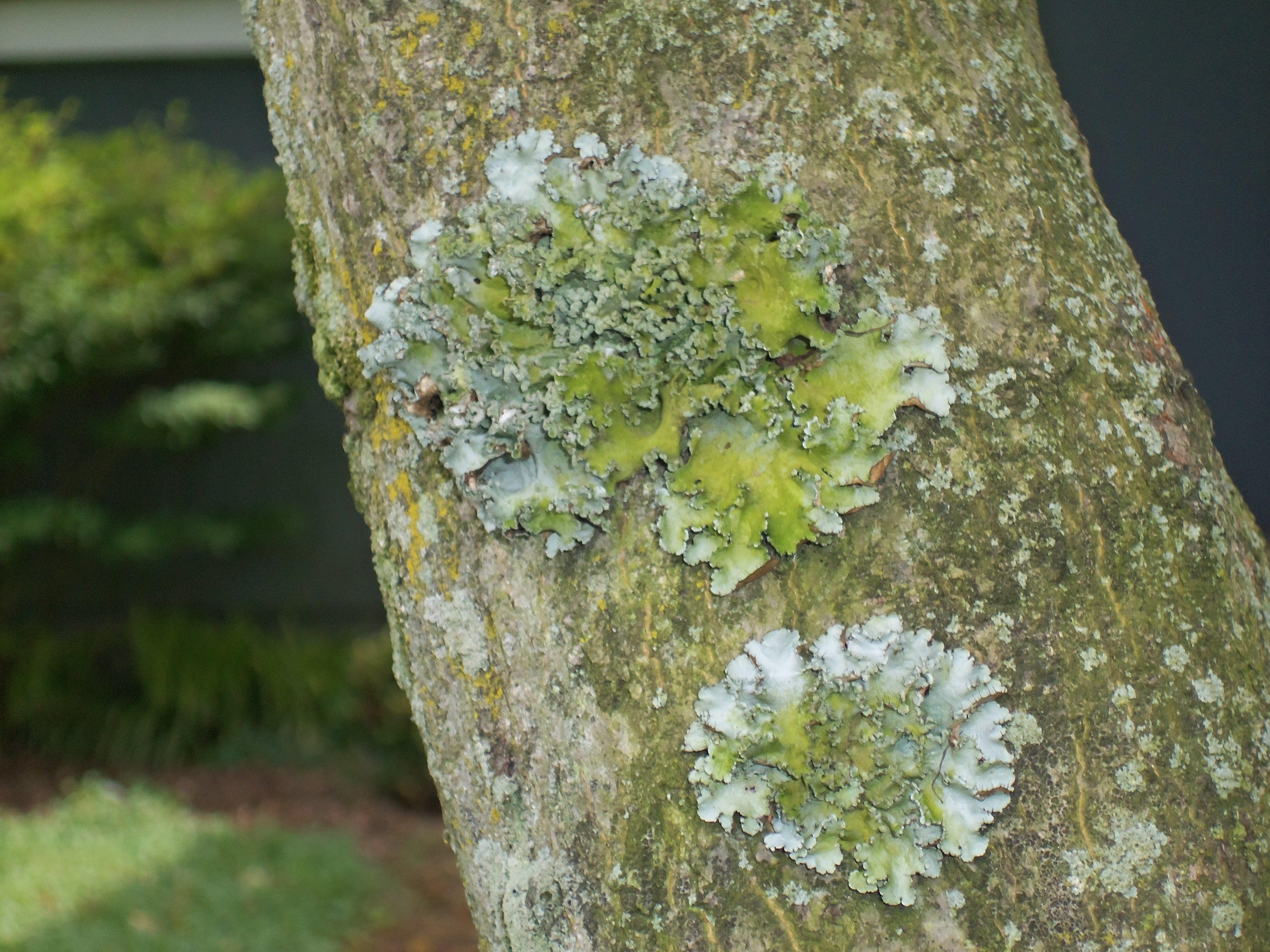 Lichens on Japanese Maple Bark | Beautiful Bark | Pinterest ...
