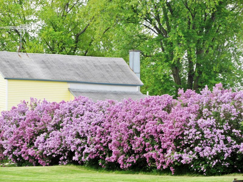 Zone 2 Plants Lilac Hedge Google Search Fence