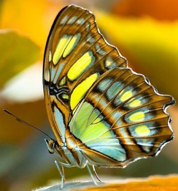 The-Malachite-Butterfly.jpg 365×392 pixels ~what a light show on those wings, nice color combination.
