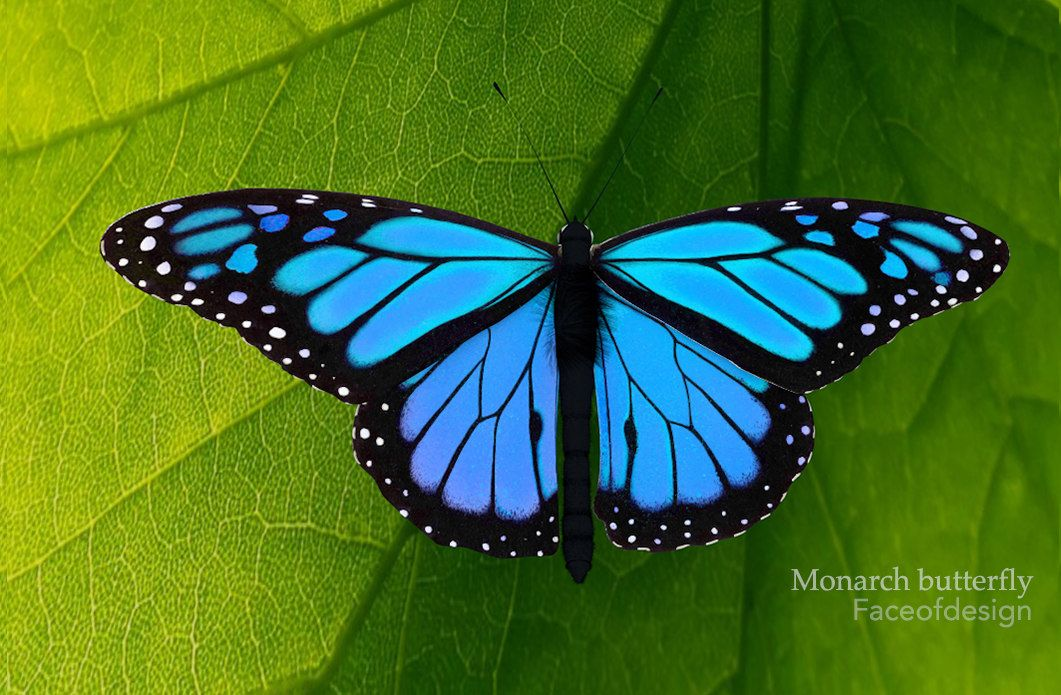 Blue Monarch Butterfly Images
