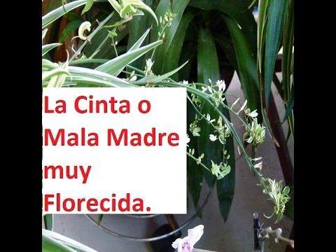 La Cinta o Mala Madre muy Florecida.Saludos del Mundo .(Fotos).