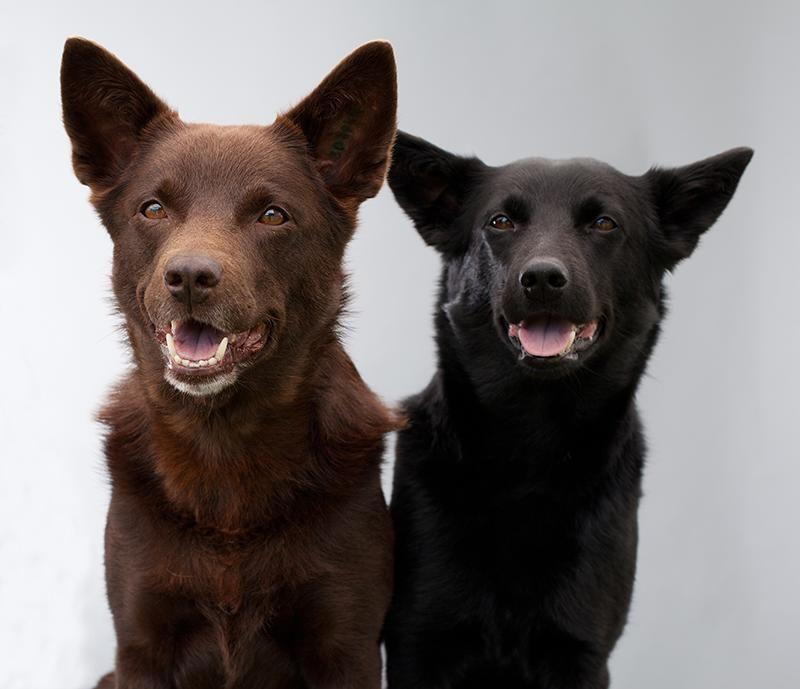 Australian kelpie dog breed information australian