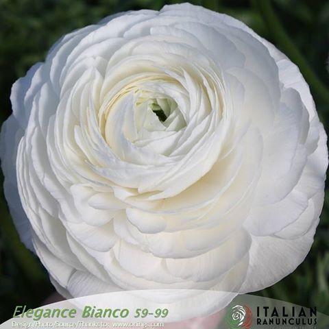 Runculus Elegance Bianco 59 99 Hydrangea Boutonniere Flower Farm Ranunculus