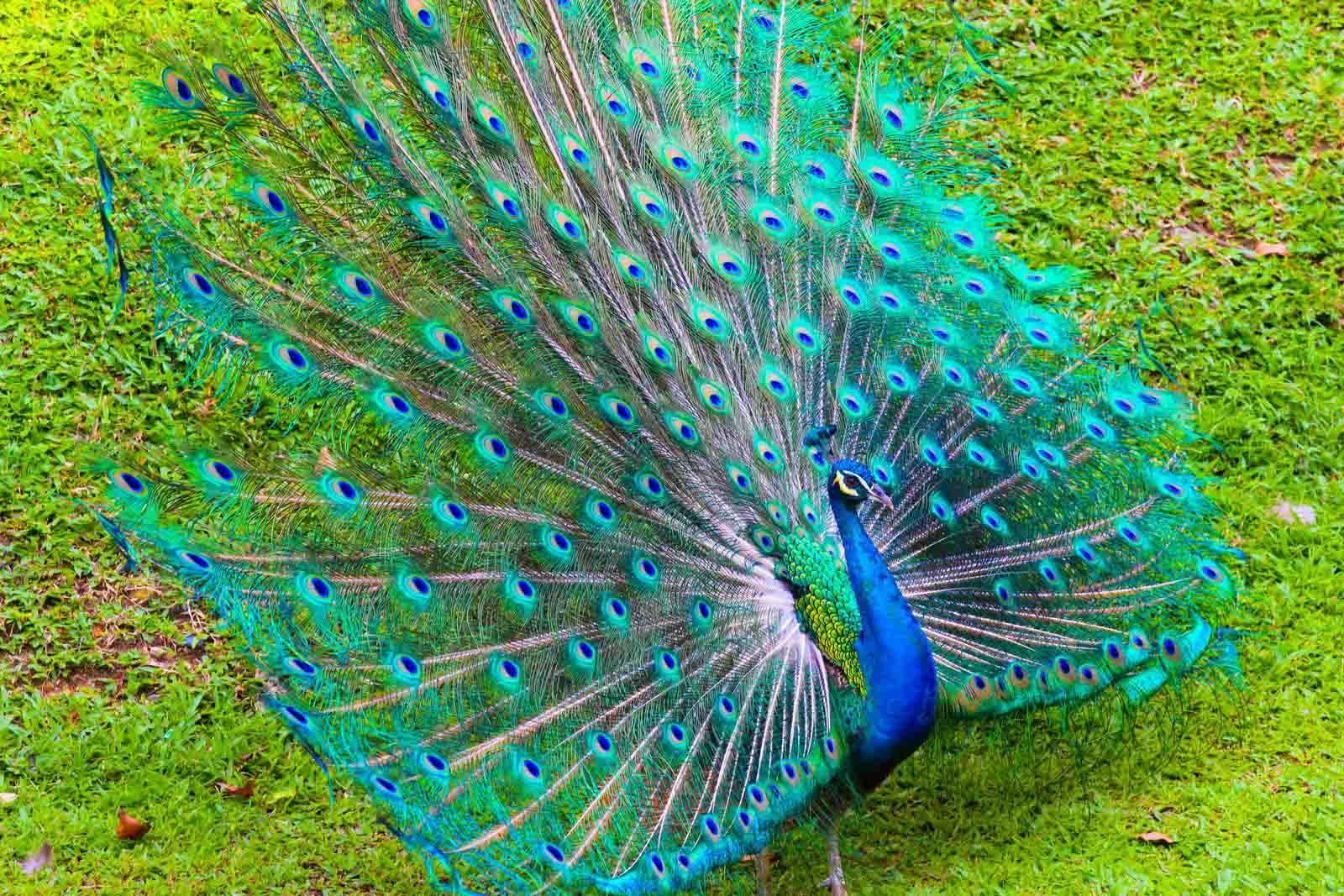 Beautiful Peacock Background HD Wallpaper Bird, Peacock
