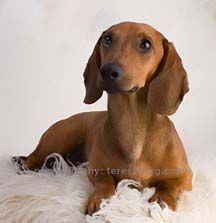 All Texas Dachshund Rescue In Pearland Texas In 2020 Dachshund Rescue Dachshund Adoption Dapple Dachshund