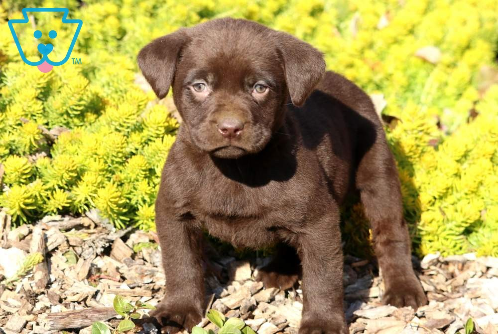 Sprinkles Labrador Retriever Lab Puppies Puppies