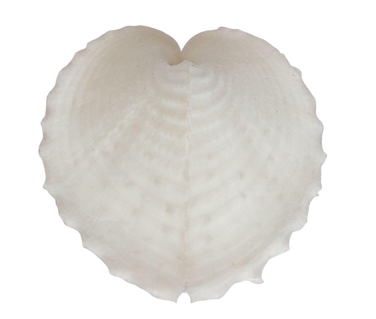 heart shell white small 2,5 x 2 cm tot 3 x 2,5 cm