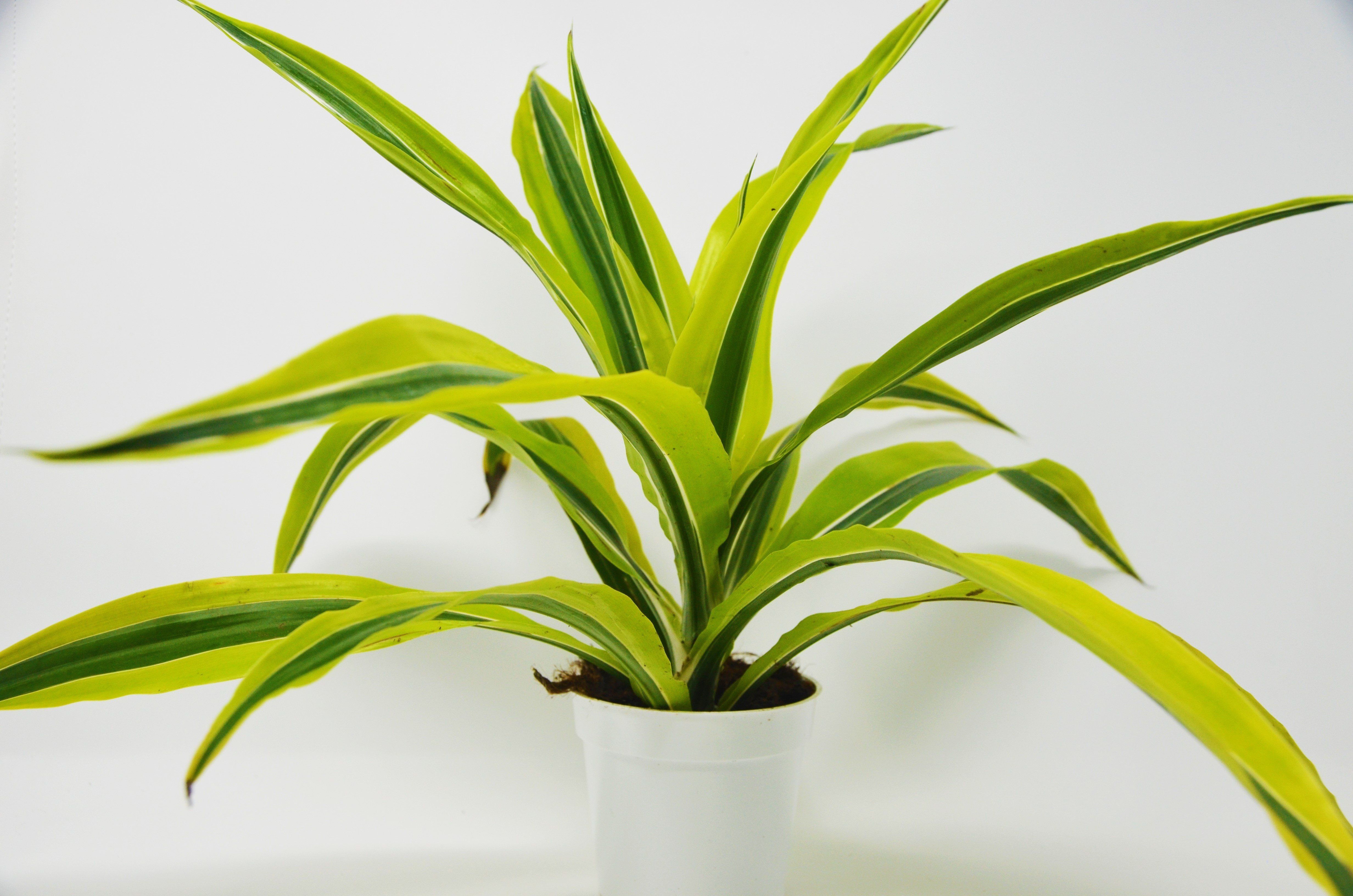 "Picture of Live Dracaena Lemon aka Dracaena deremensis Lemon Lime Foliage Plant Fit 4"" Pot"