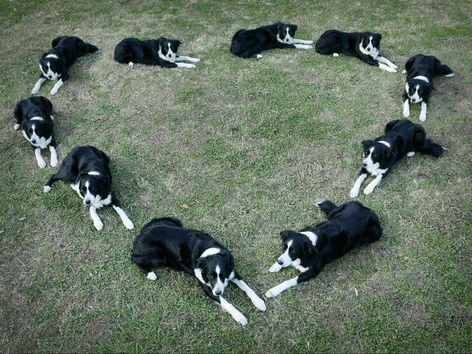 Border Collie Love Hope You Re Doing Well From Your Friends At